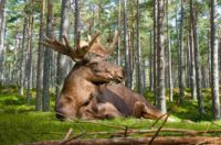 Hunting Moose with a Crossbow