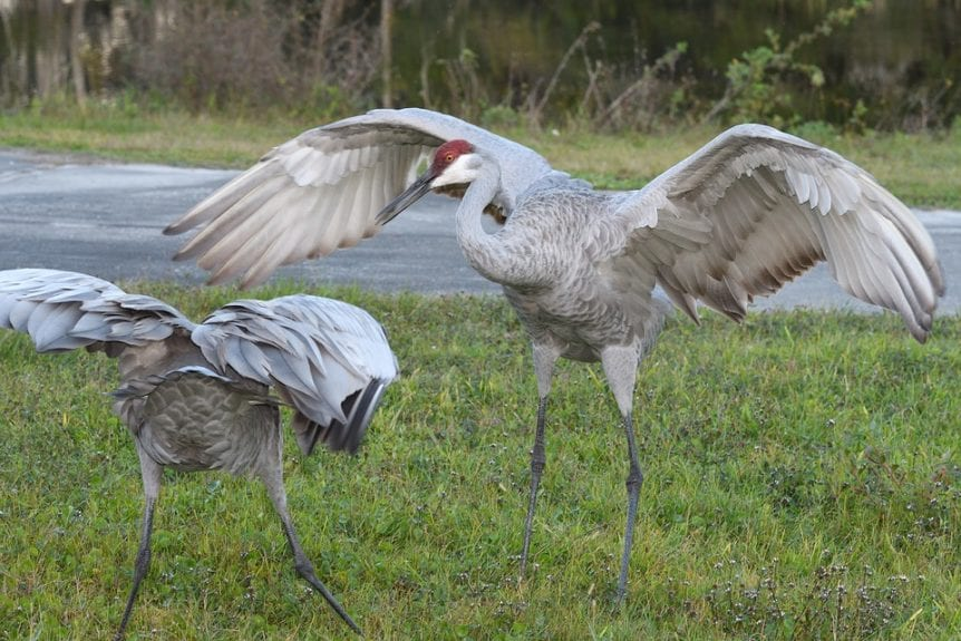 How to Hunt Sandhill Cranes